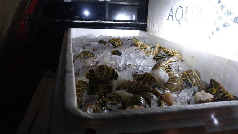 PRF apreende mais de 120 quilos de lagosta no interior do RN